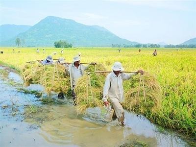 Mất bao lâu để xây dựng thương hiệu gạo Việt?