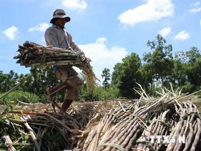 Nông dân Trà Vinh lao đao vì giá mía nguyên liệu giảm mạnh