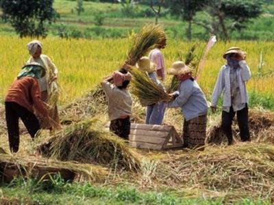 Indonesia sẽ thu mua 3,2 triệu tấn gạo dự trữ trong năm 2015