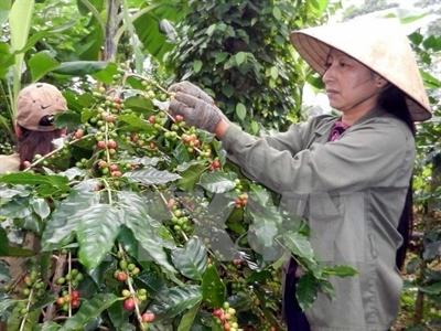 Sản lượng cà phê niên vụ 2014-2015 cả nước dự kiến giảm 20%