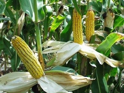 Giá lương thực toàn cầu thấp nhất 4 năm