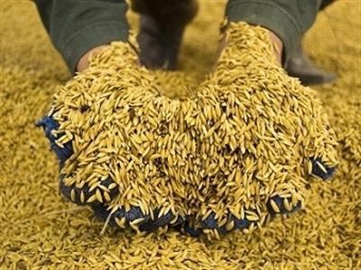 Thái Lan thông qua chương trình trợ giá gạo thơm và gạo nếp niên vụ 2014-2015
