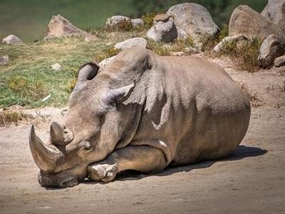 Chỉ còn 5 cá thể tê giác trắng miền bắc trên trái đất