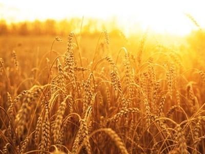 Nga lên kế hoạch nâng dự trữ lúa mỳ do giá lương thực tăng