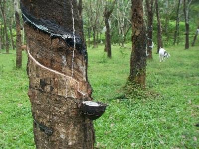 Ấn Độ: Nông dân bỏ đồn điền, sản lượng cao su tháng 11 giảm 25%
