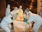 Nhật Bản tiêu hủy hàng chục nghìn gia cầm nhiễm cúm
