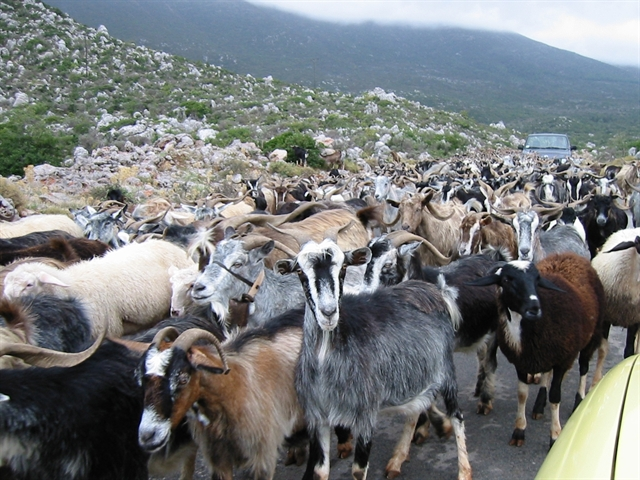 Chăn nuôi dê và bài toán thuế suất tối ưu