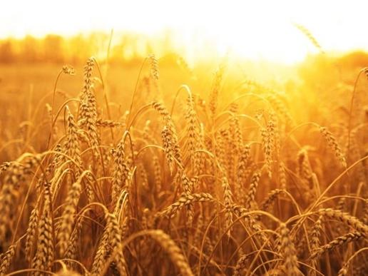 FAO: Giá lương thực toàn cầu tháng 2 thấp nhất 55 tháng