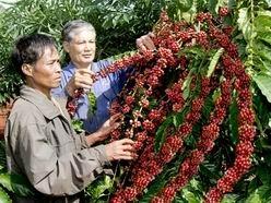 Cho vay tái canh cây cà phê tại các tỉnh Tây Nguyên