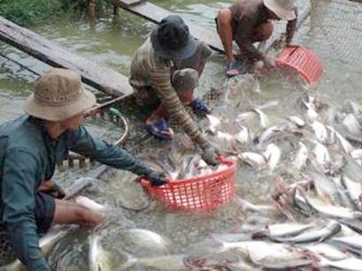 Nuôi cá tra và tôm tiếp tục lao đao vì giá không ổn định