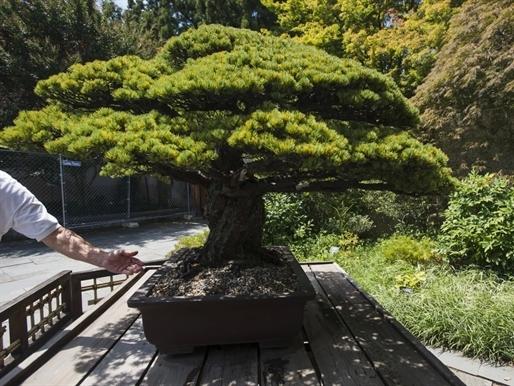 Cây bonsai gần 400 tuổi ngạo nghễ trước bom nguyên tử