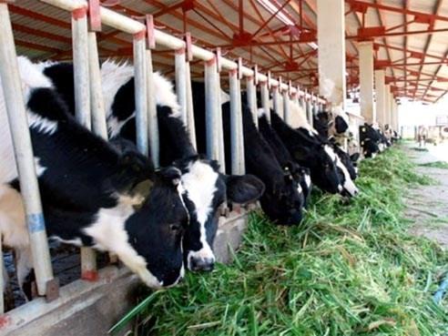 HAGL Agrico: Hoạt động bán bò chiếm nửa doanh thu, lãi quý II tăng gấp đôi