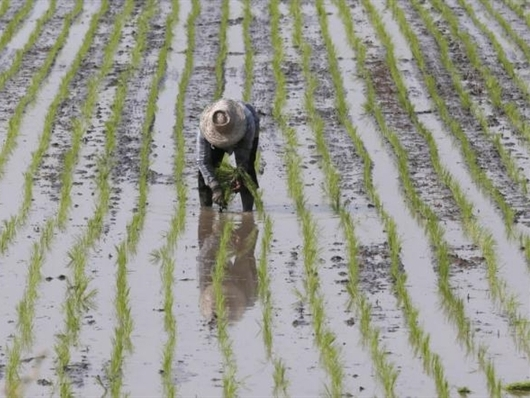 El Nino khiến giới đầu tư đổ tiền vào thị trường gạo châu Á