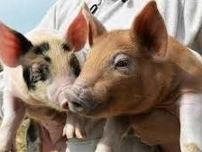 TPP: Nhật Bản đồng ý cắt giảm thuế nhập khẩu thịt lợn và thịt bò