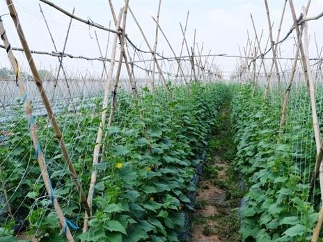 Vingroup đầu tư 650 tỷ đồng trồng rau tại Quảng Ninh