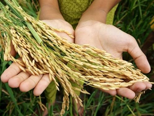 Đi trước 20 năm, sao gạo Việt thua Campuchia?