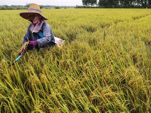 Thái Lan cam kết ngừng trợ cấp lúa gạo nhằm giảm thừa cung