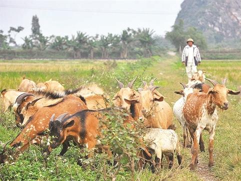 Vì sao doanh nghiệp Việt lại bỏ rơi sữa dê?