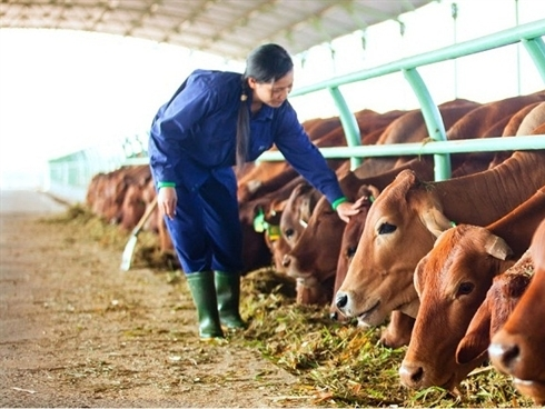 HAG: Hơn 60% doanh thu đến từ bò, lãi quý III giảm mạnh