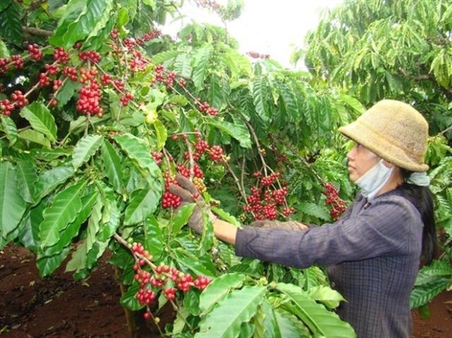 Tái canh cây cà phê: Thực trạng đáng lo ngại