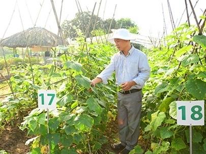Nhà nông Việt trồng rau kiểu Mỹ
