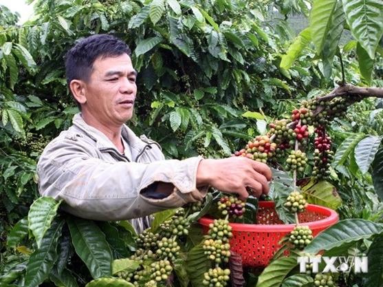 Cần phải 'thay máu' cho cà phê Việt Nam