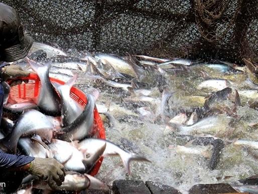 Cá da trơn sang Mỹ có thể thoát cảnh bị giám sát