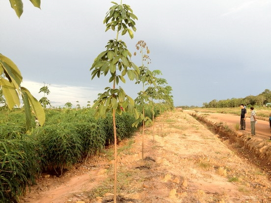 Gemadept được cấp phép trồng hàng ngàn ha cao su tại Campuchia
