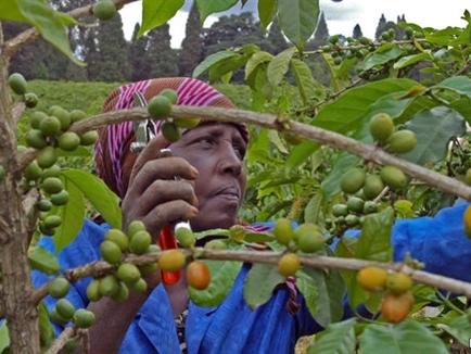 Bộ máy quan liêu đã nhấn chìm ngành cà phê Kenya như thế nào?