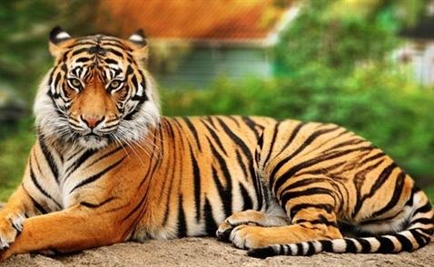Số cá thể hổ hoang dã tăng lần đầu tiên trong một thế kỷ qua