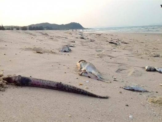 Nghi vấn Formosa xả thải ra biển khiến cá chết hàng loạt
