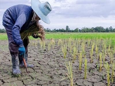 Châu Á mất mùa lúa gạo, an ninh lương thực bị đe dọa
