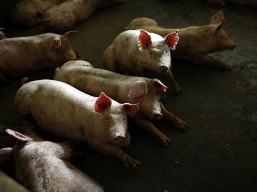 Thành tỷ phú Trung Quốc nhờ... lợn