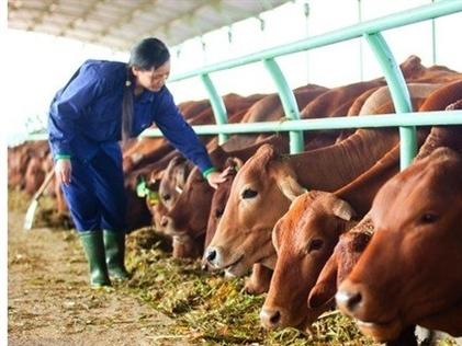 Kon Tum thu hồi dự án nuôi bò nghìn tỷ của Hoàng Anh Gia Lai