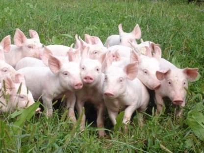 Hoà Phát bắt đầu... nuôi lợn