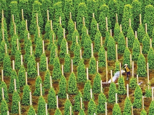 Hoàng Anh Gia Lai lại bị thu hồi dự án trồng tiêu 50 ha