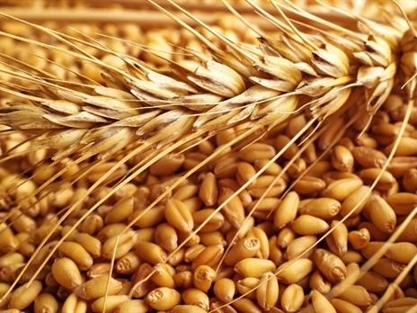 Pháp lần đầu xuất khẩu lúa mì sang Việt Nam sau 25 năm