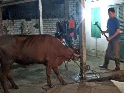 Úc ngừng xuất bò cho 3 lò mổ Việt Nam vì ngược đãi động vật