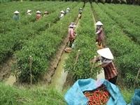 CJ Hàn Quốc chi 2,1 triệu USD trồng ớt tại Việt Nam