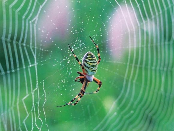 Tơ nhện rồi sẽ thay tơ tằm?