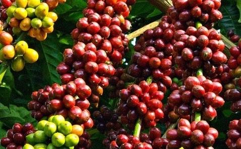 Cây cà phê đang đối diện nguy cơ tuyệt chủng?