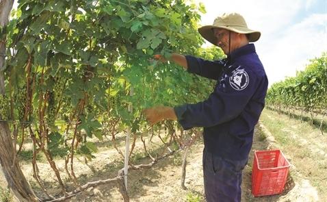 Ladora Winery: Vang danh vang Việt