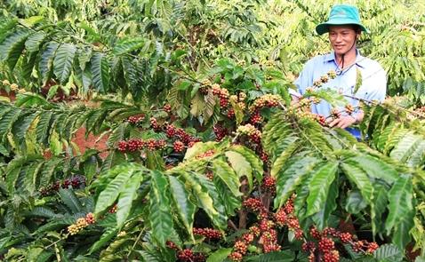 Mưa lũ làm trì hoãn thu hoạch cà phê của Việt Nam