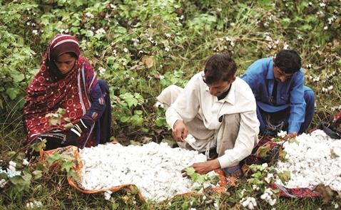 Đi tìm cotton bền vững