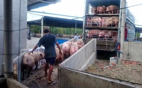 15.000 con lợn được buôn lậu từ Việt Nam sang Trung Quốc mỗi ngày