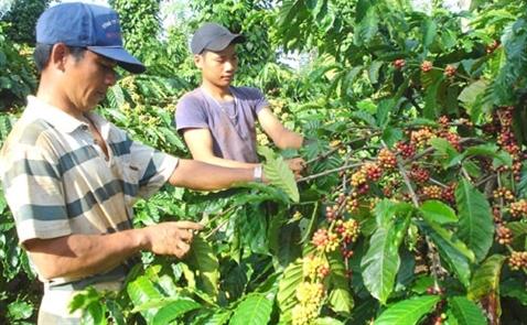 Sản lượng cà phê Việt Nam có thể xuống thấp nhất 4 năm
