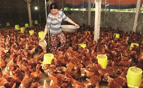 Gà thảo mộc: Cơ hội mới cho người chăn nuôi
