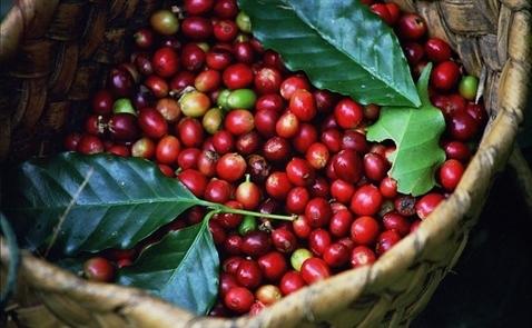 Brazil sẽ nhập tối đa 1 triệu bao cà phê Việt Nam