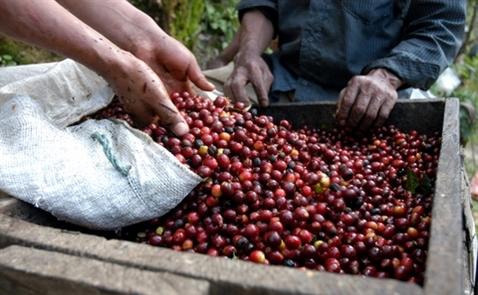 Việt Nam sắp vượt Brazil thành nước xuất khẩu cà phê lớn nhất thế giới