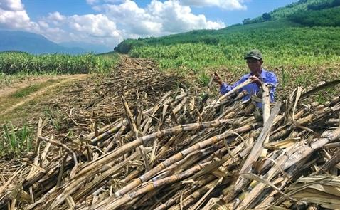 Hàng ngàn tấn mía nằm chờ 'vệ sinh nhà máy' đường Khánh Hòa